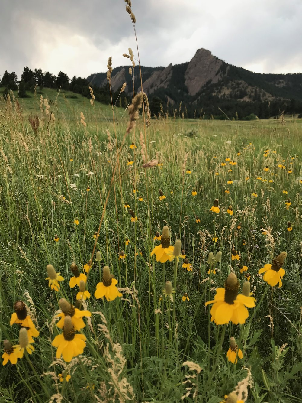 wildflowers at chautauqua park in boulder, colorado— i got to spend some time exploring the gorgeous trails here when i was in boulder for puppet camp.