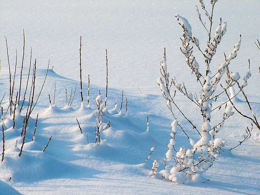 Frost-Winter-Snow-Plants.jpg