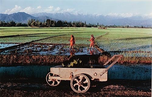 Transplanting Paddy, on the outskirts of Srinagar, Kashmir, 1983