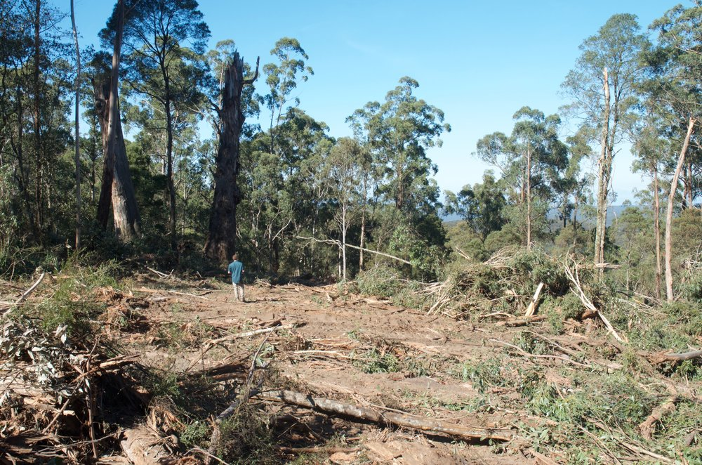 Above: Logging and habitat loss is the biggest threat to the species' survival