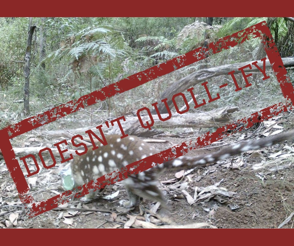 No protection for a rare Spotted-Tailed Quoll in the forest of Mt Baw Baw. Quoll photo courtesy of Milan Stupar.