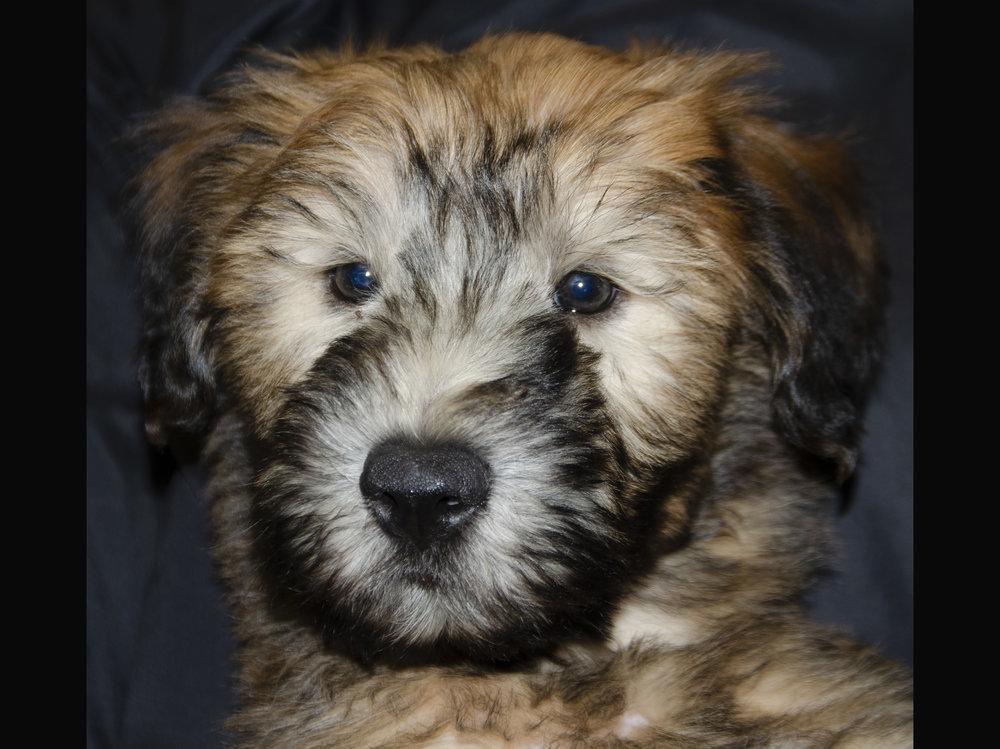 Wheaten Terrier; Male; DOB: 1/1/19
