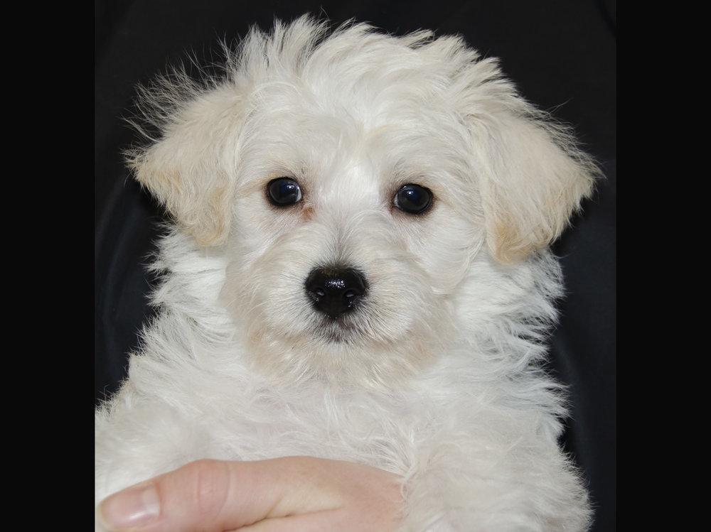Westie/Poodle; Male; DOB: 1/7/19