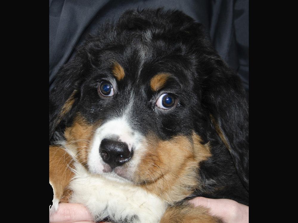 Bernese Mtn. Dog; Male; DOB: 1/8/19