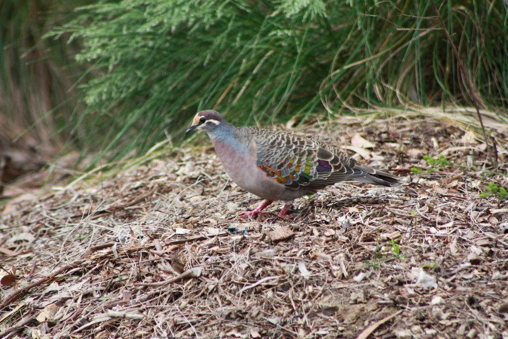 Bronzewing Pigeon Andy.jpg
