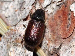 Adult spruce beetle