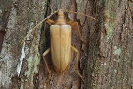 Yellow douglas fir beetle