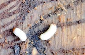 spruce beetle pupa.jpg