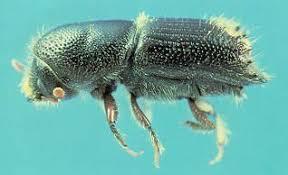 ips beetle .jpg