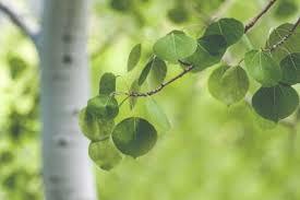 aspen leaves.jpg