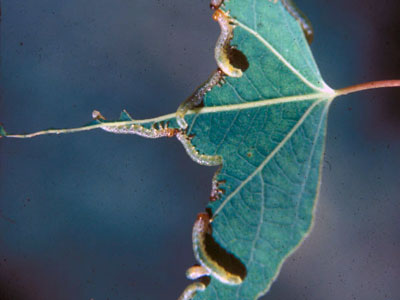 sawflies on aspen leaf