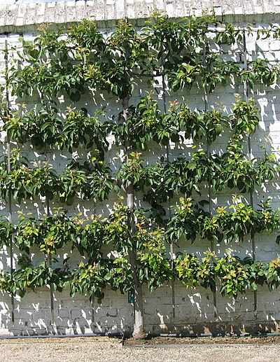 Espalier :  is the    horticultural    and ancient    agricultural    practice of controlling woody plant growth for the production of fruit, by    pruning    and tying branches to a frame.