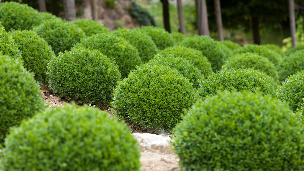 Topiary:   the art or practice of clipping shrubs or trees into ornamental shapes.
