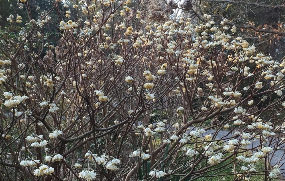Edgeworthia chrysantha  'Snow Cream' in bloom