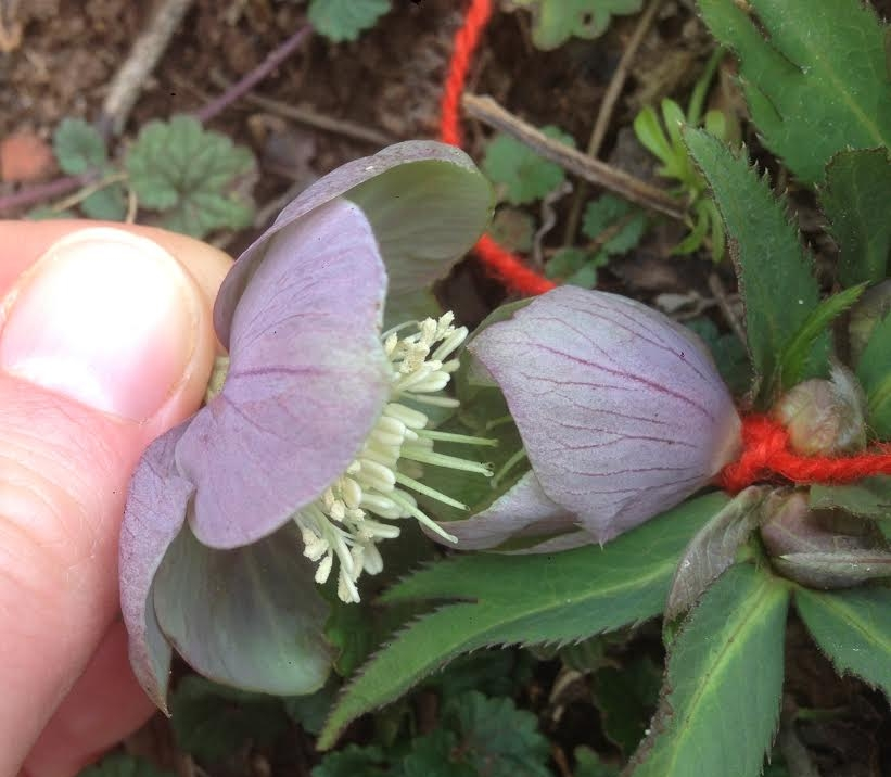 Here, the pollen from the first flower shown is being used to pollinate the stigma of the second flower shown. The flower that will produce seed is marked with a red string so that it can be watched for ripe seed.