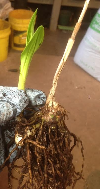 This bulb with a shoot of new growth will flower this year and will be repotted to grow on for sale.