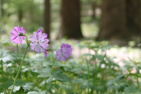 Primula sieboldii  blooming on the Trillium Slope.