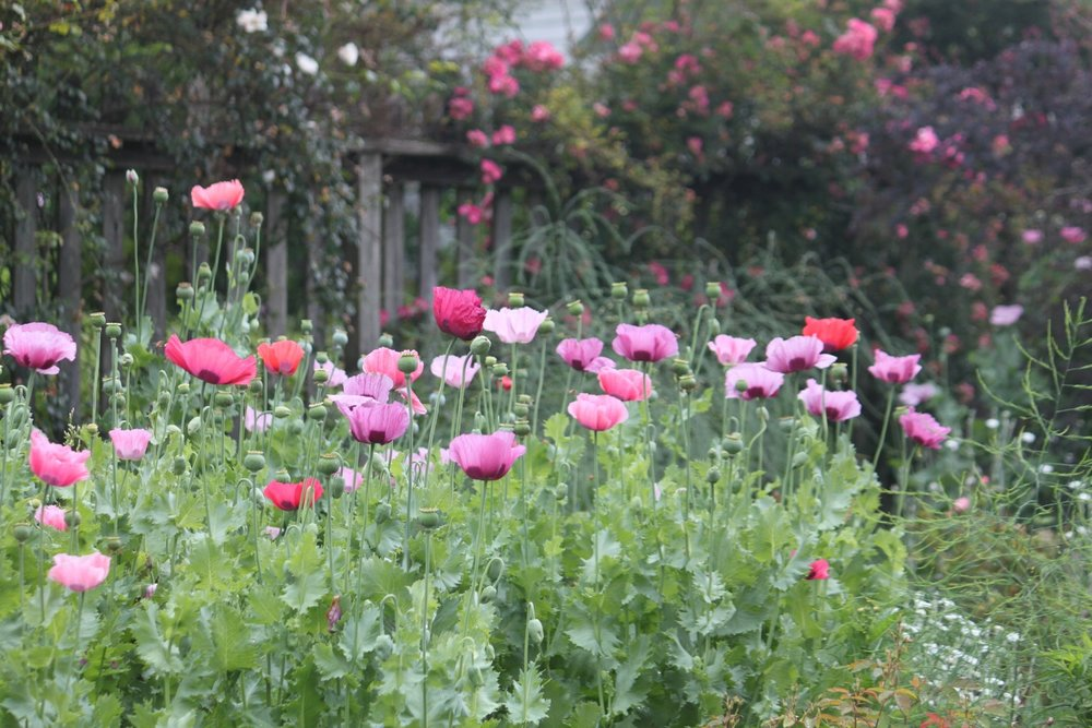 Poppies in full bloom with a backdrop of roses.