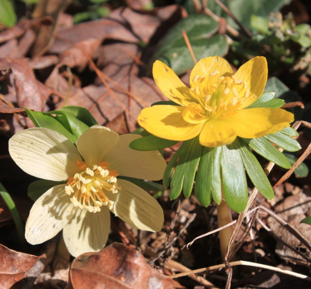 Two shades of  Eranthis hyemalis