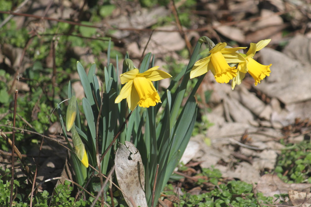 Early daffodils.JPG