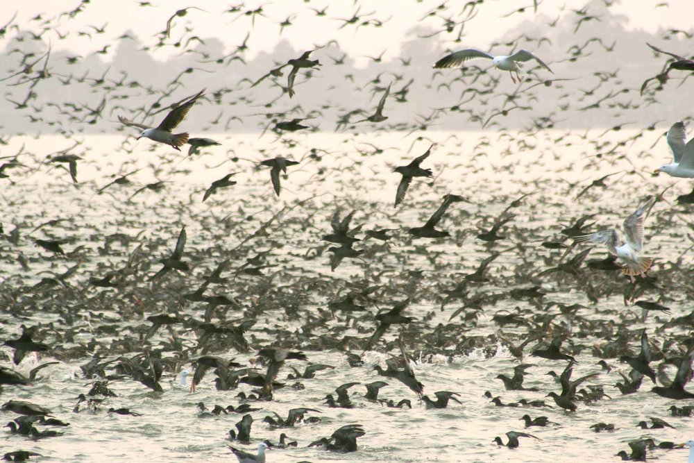 Sooty shearwaters, seagulls, and pelicans in a feeding frenzy — Aptos, California