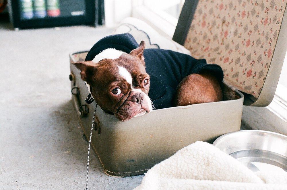 Milhouse the Boston Terrier from Unripe Banana..