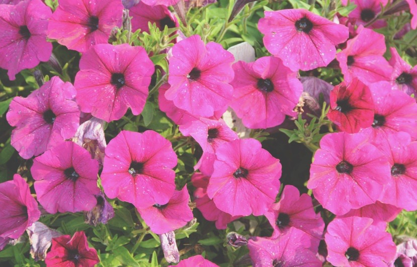 annuals - Known for their vivid, rainbow of colours, annuals provide months of spectacular blooms and foliage for your planters, baskets, beds and borders. We have a variety of specialty grasses, bedding and single annuals, and more.