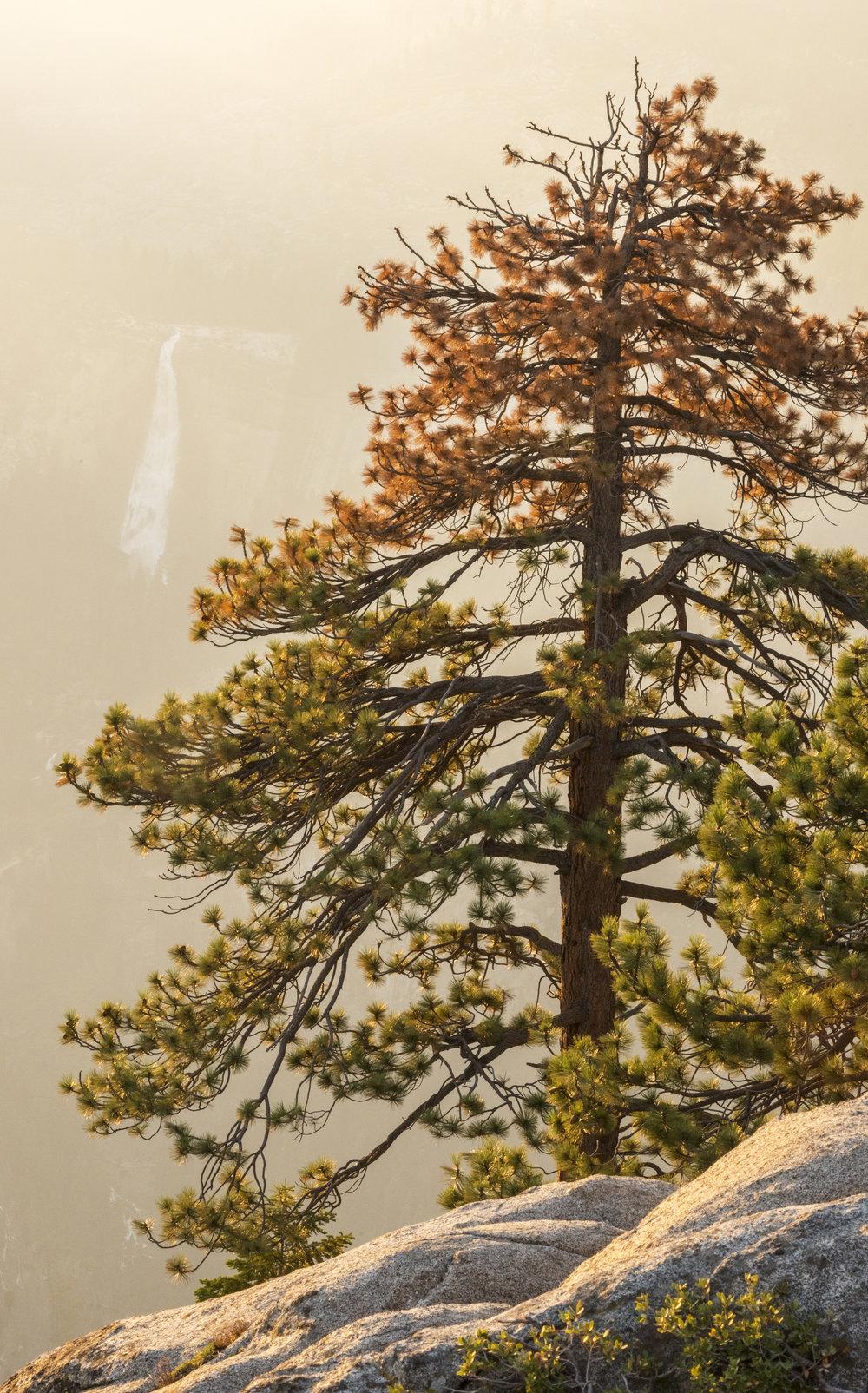 yosemite-tree.jpg