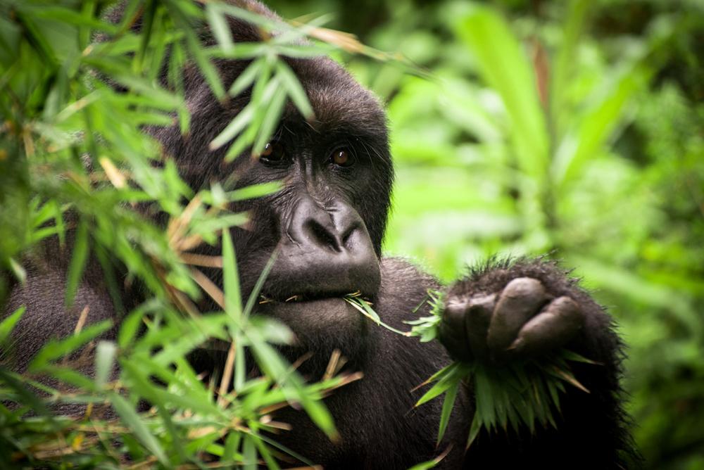 © Dian Fossey Gorilla Fund