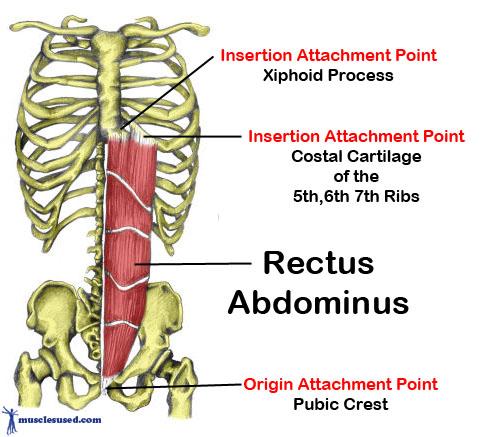 rectus-abdominus.jpg