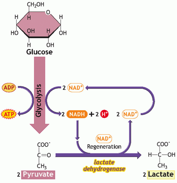 Glycolysis.png