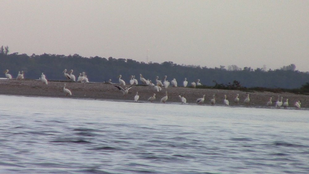 Many had already left, but it's always amazing to see White Pelicans.
