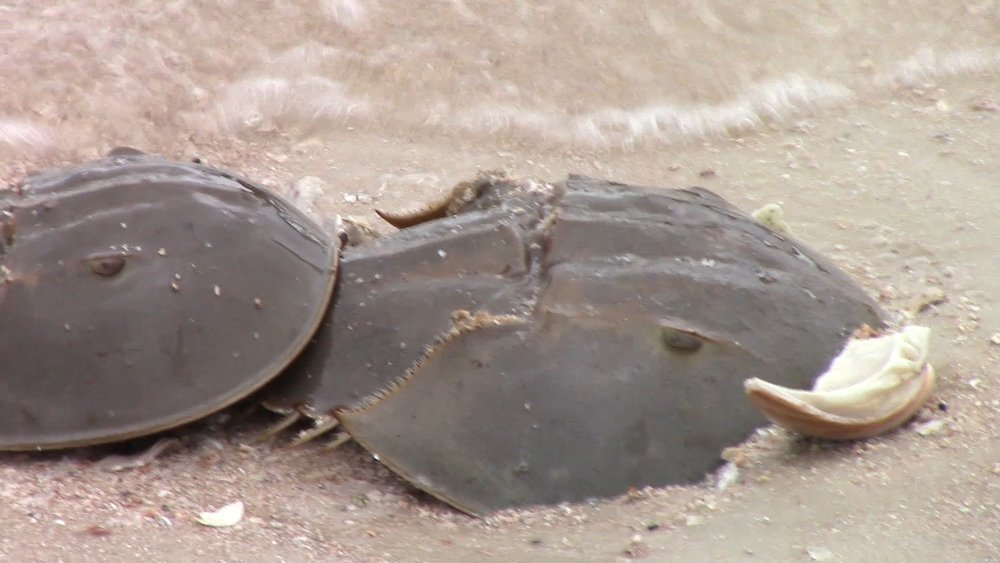Horseshoe Crab female with her male attached. She is trying to bury herself in the sand to lay her eggs.