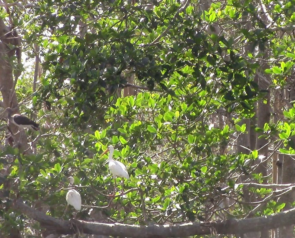 Some Ibis relaxing in the mangroves. The darker one is a juvenille.