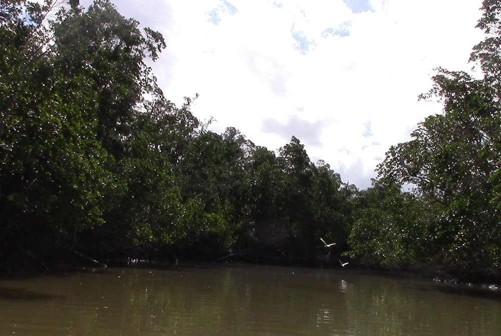 There were birds everywhere in the mangroves, but due to their density, they were easier heard than seen. Ibis were some of the easier birds to spot, not just because of their stark, white feathers, but also because of their loud honks.