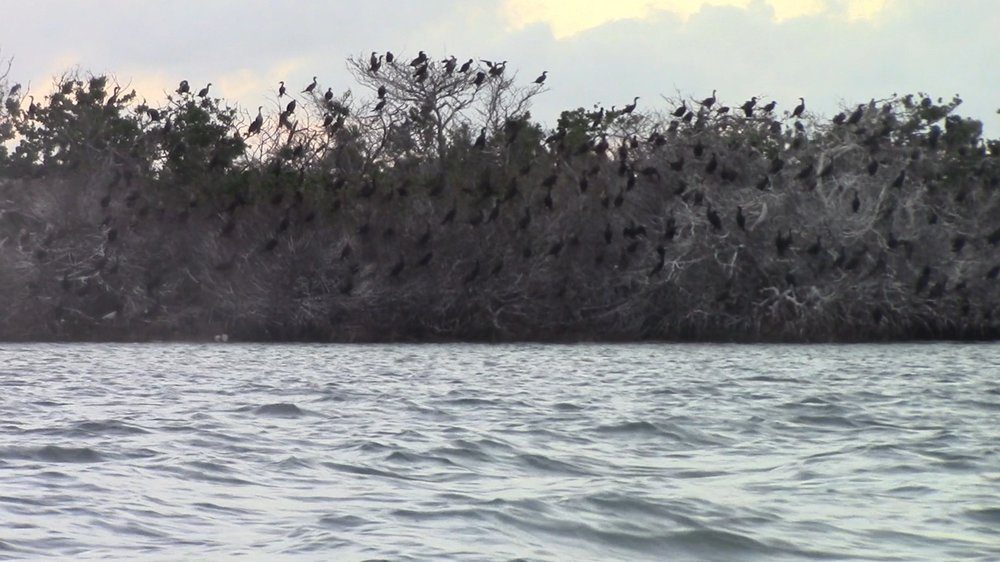 Cormorants and Brown Pelicans made up the majority of the rookery birds.