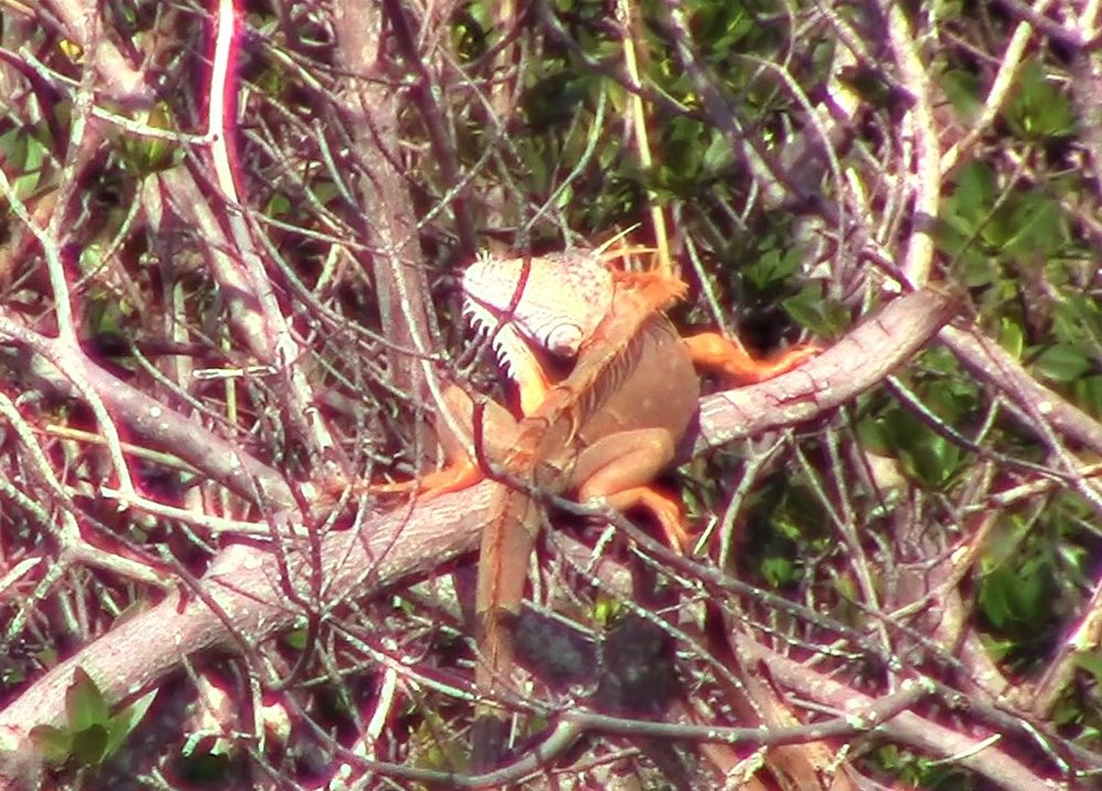 We had a large, orange Iguana hanging nearby, strutting his stuff.
