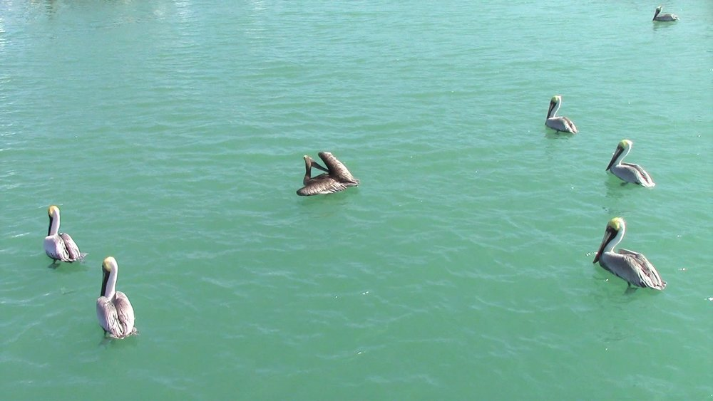 Every marina has to have Pelicans. They can be pretty cliquey.