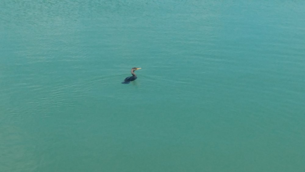 A little Cormorant hanging out by The Quay in Marathon. The water was so blue and clear, you could see his little feet in the water.