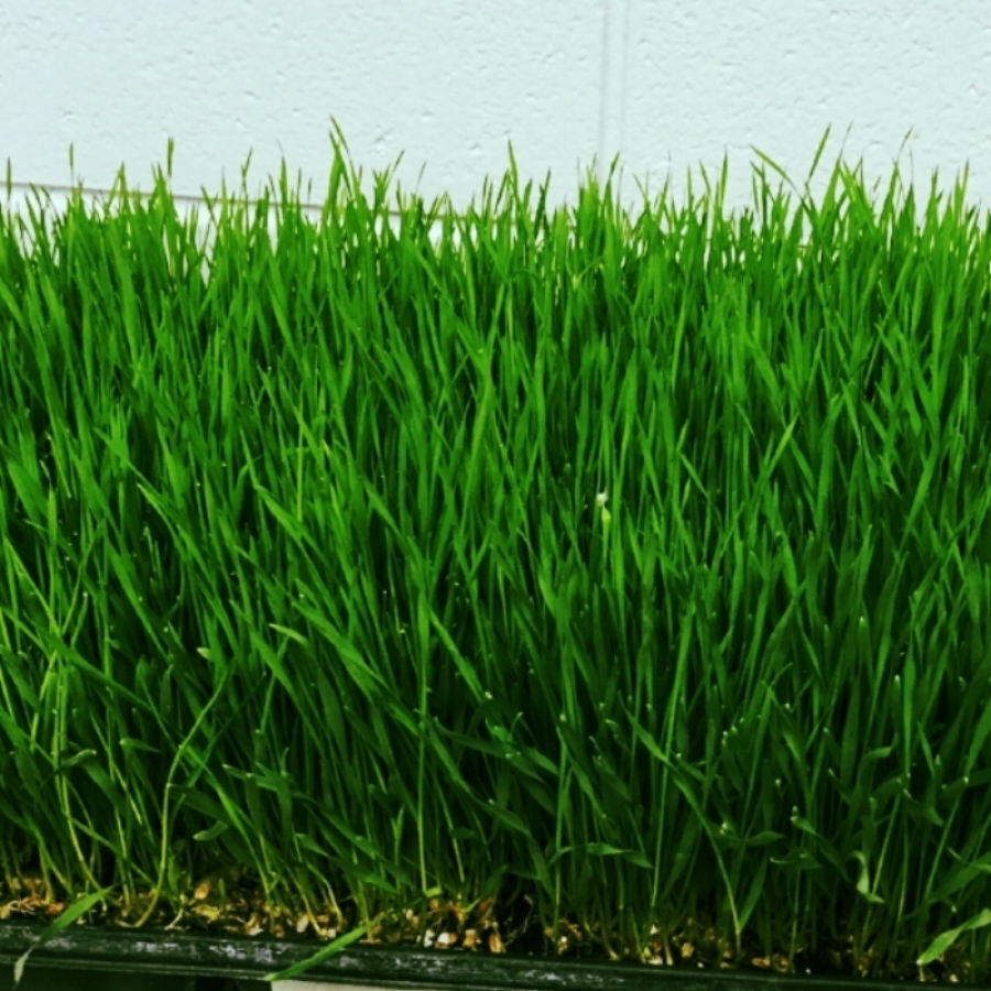 fresh weat grass.JPG