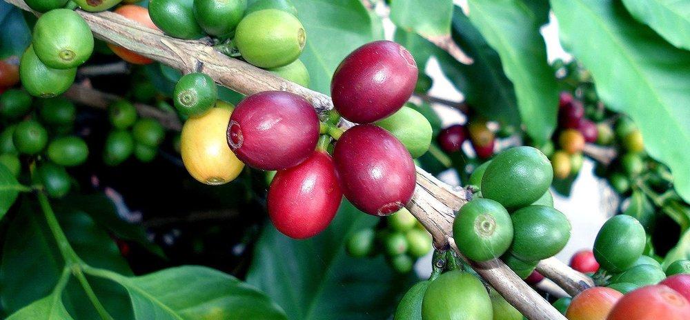 tree-of-coffee-3-1169589.jpg
