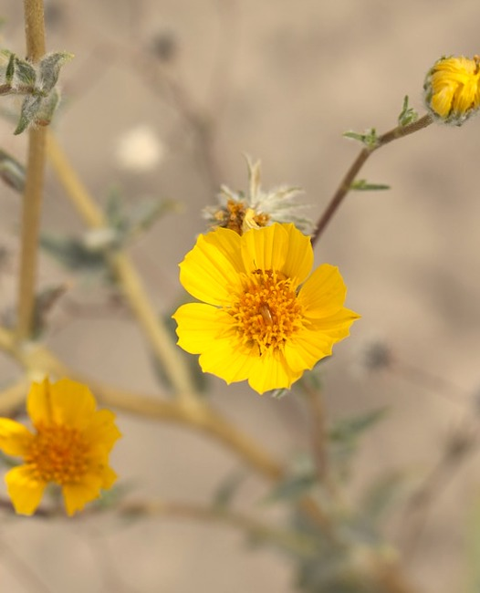 desert-sunflower-2699399_960_720.jpg