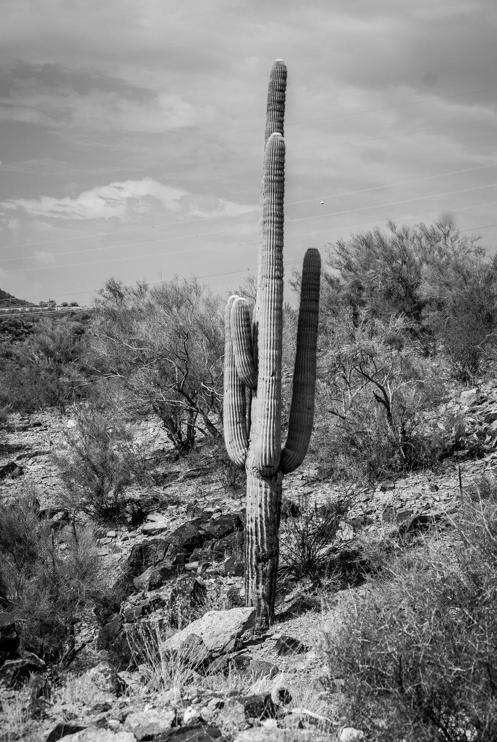 saguaro cactus outside wikieup, az  photograph by jaclyn michelle