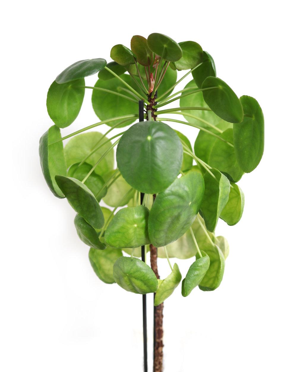 - RoteraBeroende på placering tenderar elefantörats blad att dra sig åt ljuset. För att undvika att alla blad inkl. stam drar åt ett håll och blir krokig kan det vara bra att vrida plantan då och då. På så vis fördelas ljuset och plantan får en jämnare form.