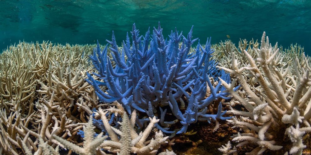 Image from: https://www.inverse.com/article/34218-what-is-coral-bleaching-chasing-coral-great-barrier-reef-dead