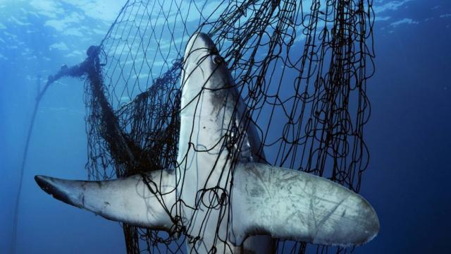 Larger animals often get caught in the wrong place at the wrong time as a result of deep sea trawling. (Image courtesy of https://www.occupy.com/article/europe-seeks-ban-deep-sea-trawling#sthash.EWztn9jw.dpbs)