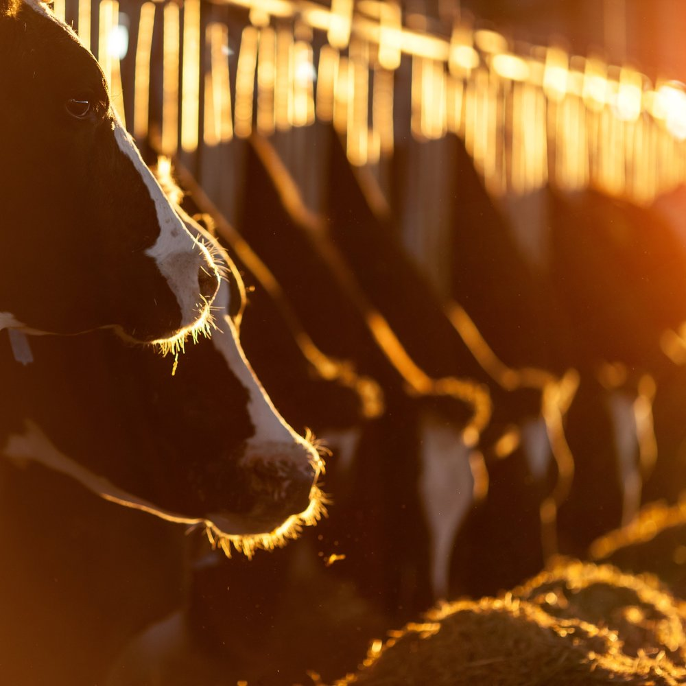 Koeien eten - Istock.jpg