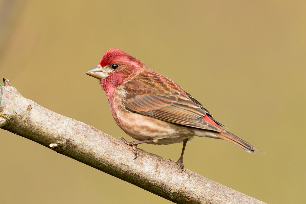 Photo: Purple Finch, by Mick Thompson