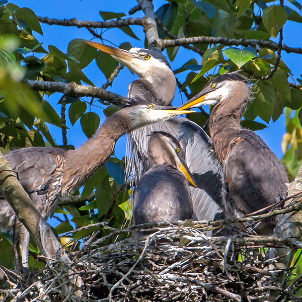 Photo: Great Blue Herons, by Mick Thompson