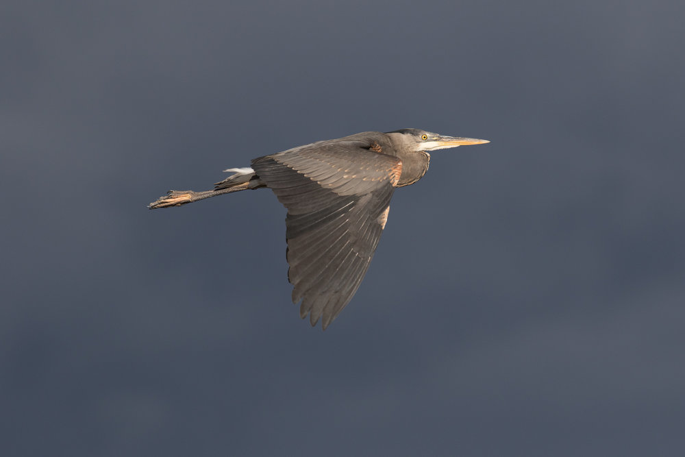 Photo: Great Blue Heron, by Tyler Hartje